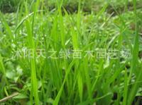 特价销售多年生南方型黑麦草种子,鸡鸭鱼鹅等专用牧草 特价10/斤