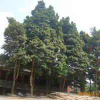 供��楠木�湫��20-40公分的�棠�  �G化苗木