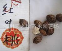 批发供应当年新采的桃树种子 紫叶桃种子