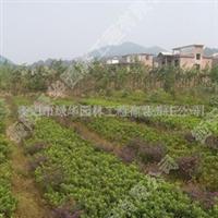 供应衡阳的春杜鹃蓬径20-100公分   灌木