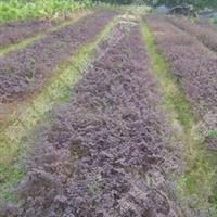 供应湖南红继木绿化苗木  冠幅20-30公分的灌木