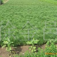 大量供应油松、黑松优质小苗,价格便宜