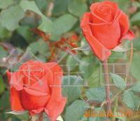 长期供应优质玫瑰种苗(图)