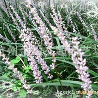 大量供��工程�G化植物  ��冬草