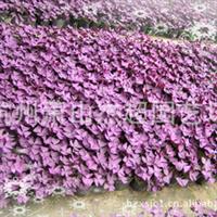 供���@林�G化地被�植物 紫�~酢�{草