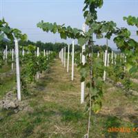 巨玫瑰葡萄树苗