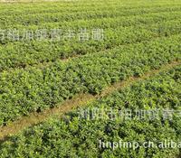 苗农直销杜鹃,红继木等各种绿化小苗