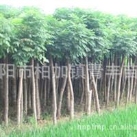 大量低价供应绿化苗木栾树树