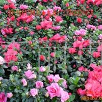 福建杜鹃,杜鹃盆景,杜鹃花卉,西洋杜鹃,毛鹃