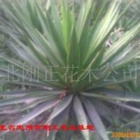 长期供应河北省定州市刚正花卉苗木场产的优质丝兰、凤尾兰、剑麻