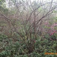 河北定州供应大冠幅的丛生金银木