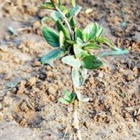 大量出售新品产地优质金银花种苗