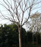 供应苗圃苗,高品质、大规格绿化苗木:栾树