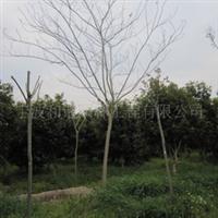 限量供应精品园林绿化苗木:合欢