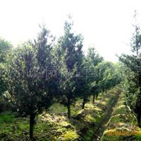 供应精品园林绿化景观苗木(灌木):罗汉松