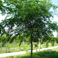 榉树 供应:园林绿化精品稀缺品种