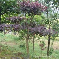 浏阳红花继木种植基地 浏阳红花继木种植基地是以造型红花继木桩为