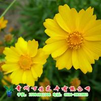 金鸡菊【低价供应绿化苗木、草花、宿根地被植物】