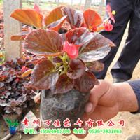 四季海棠【低价供应绿化苗木、草花、宿根地被植物】
