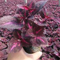 供应彩叶草(紫色、黄色),草花基地品种全、价格低
