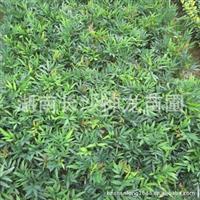 【绿化苗圃】长期优价优质低价直销绿化树苗 阔叶十大功劳