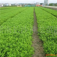 供应绿化苗木 灌木 杜鹃