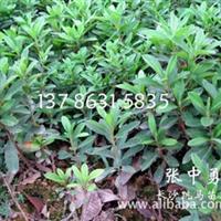 栽植 灌木 花卉 绿化苗木树木 杜鹃