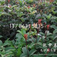 供应 10公分的 四季桂 月月桂