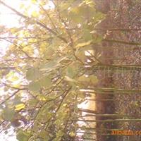 大量供应优质灯台树