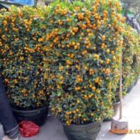 供应桔子树,大桔,年桔(图)
