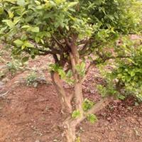 造型九里香 贵树