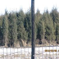 供应 苗木 绿化树 桧柏 主干高15---40