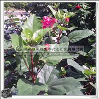 园林绿化苗木 扶桑花 常绿灌木 盆栽 灌木花卉
