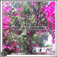 工程绿化苗木 三角梅 灌木花卉