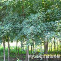 供应苗木  五角枫 绿化树