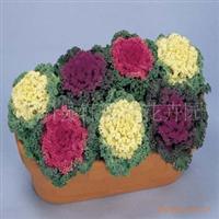大量供�����|出售草本花卉 羽衣甘�{各�N�r令花卉