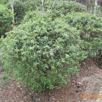大量供应优质绿化苗木火棘 1米球 火棘球