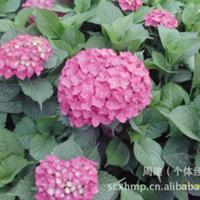 灌木 绣球花   八仙花、紫阳花、七变化、洋绣球、  大量批发