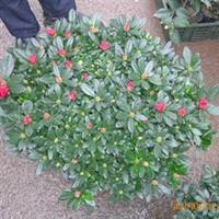 供应:中国花卉 中原苗木花卉 比利时西洋杜鹃 批发