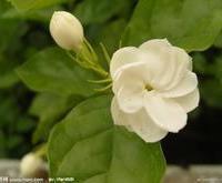 茉莉花 茉莉花苗 香花 风景树 批发苗木 品种多