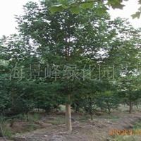 供应各种规格枫树、枫香、三角枫、五角枫、元宝枫、
