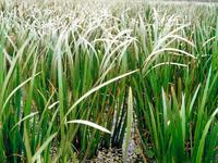 江苏沭阳俊驰苗木场低价供应睡莲、菖蒲、芦苇、千屈菜等水生花卉