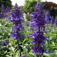 薰衣草 香水植物,灵香草,香草,黄香草
