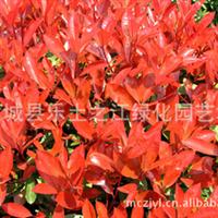 供应红叶石楠色块苗  高杆红叶石楠 红叶石楠篱笆苗 红叶石楠