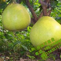 特价出售巨型柚子苗 柚子果树苗 嫁接果苗【天皇蜜柚苗】湖南苗木