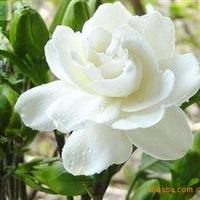 特价批发绿化苗木 芳香浓郁 四季常青小叶栀子花 大叶栀子