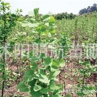 产地批发供应:银杏种子,银杏,白果,营养丰富,经济价值高