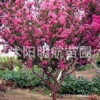 批发供应当年新采紫薇种子 百日红种子 优质高产