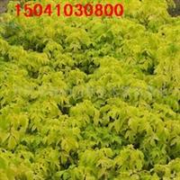 供应金叶复叶槭 金叶复叶槭质料 金叶复叶槭报价 金叶糖槭价格