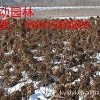 供应大花水桠木 木绣球小苗 木绣球工程苗 大花水桠木价格
